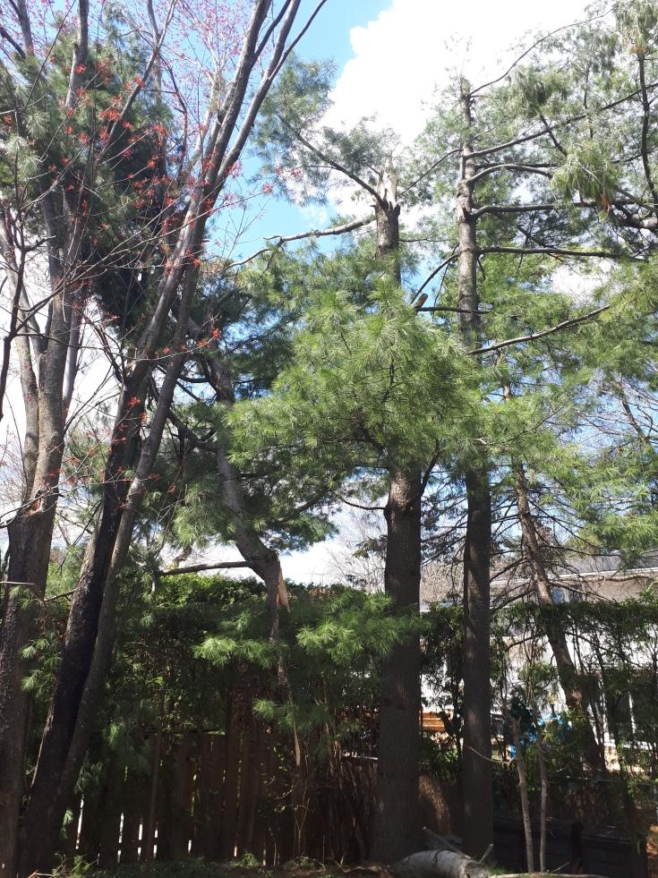 Eastern White Pine High Winds