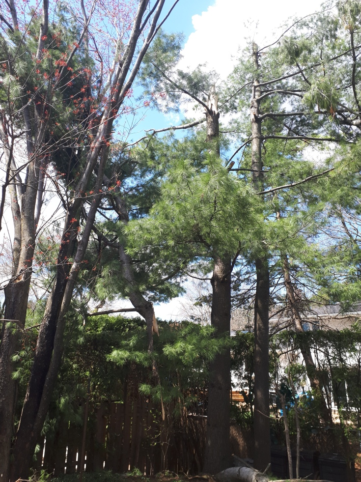 Eastern White Pine High Winds