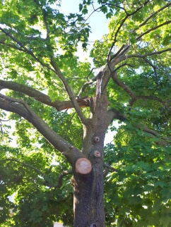 Norway Maple High Winds