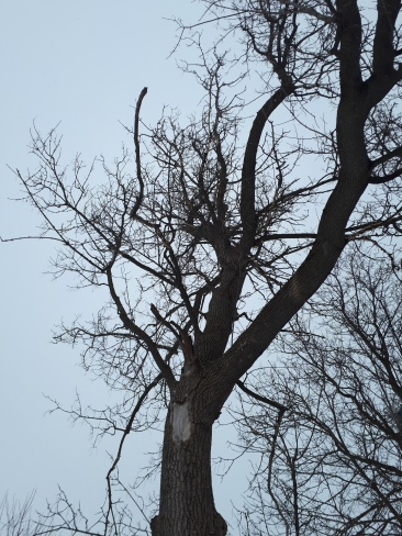 Declining Manitoba Maple