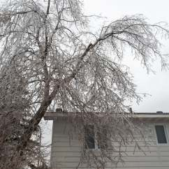 Manitoba Maple Ice Rain