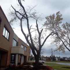 Silver Maple Tornado