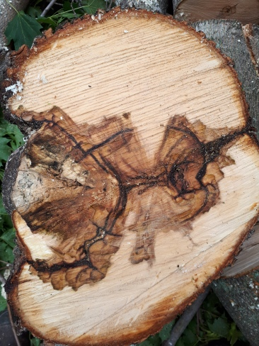 Norway Maple Included Union, Decay Cross-section