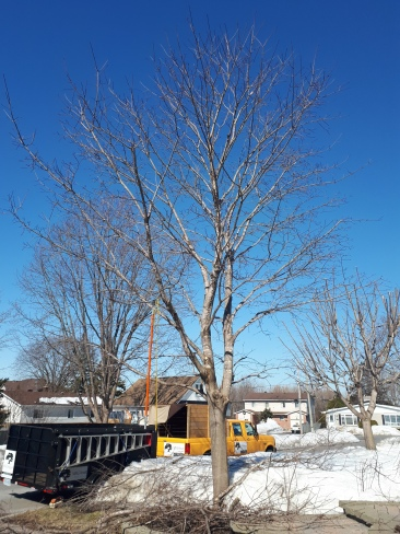 Norway Maple After